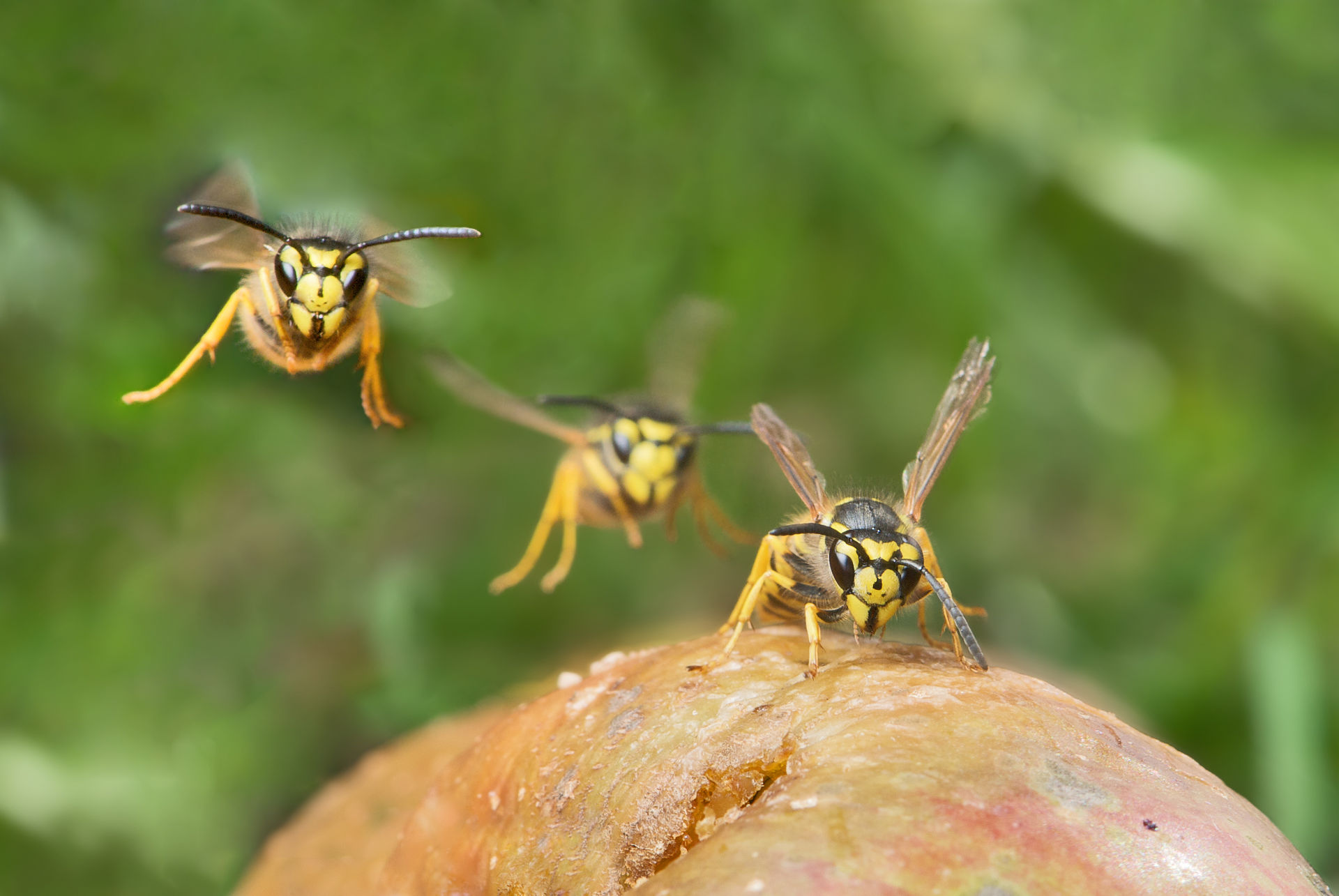 Stehen Wespen Unter Naturschutz : sommerzeit ist wespenzeit freiwillige feuerwehr ~ Whattoseeinmadrid.com Haus und Dekorationen